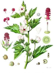 althea-officinalis